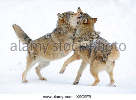 Fighting, playing wolves, cub, Mackenzie Wolf, Alaskan Tundra Wolf or Canadian Timber Wolf (Canis lupus occidentalis) in the - Stock Photo