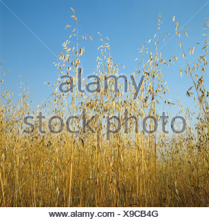 Wild oats Avena fatua seeded and dry in ripe wheat crop - Stock Photo