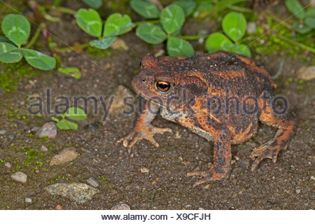 European common toad (Bufo bufo), sitting on the ground, Germany - Stock Photo