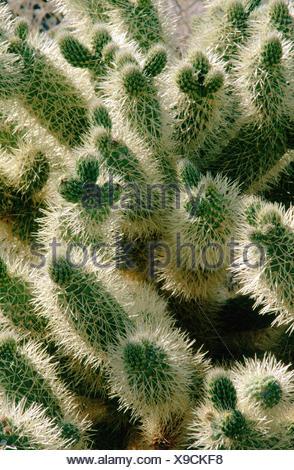 Buckhorn Cholla (Opuntia acanthocarpa). Anza Borrego Desert State Park. California. USA - Stock Photo