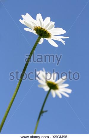 Two Oxeye Daisy flowers (Leucanthemum vulgare) against blue sky - Stock Photo