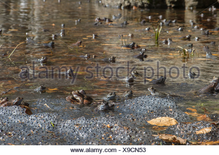 Common Frog (Rana temporaria) adult males group waiting for females in montane pool with spawn during breeding season Aveto - Stock Photo