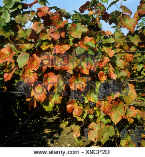 Magnesium deficiency symptoms on leaves of Pinot Noir wine grapes in fruit - Stock Photo