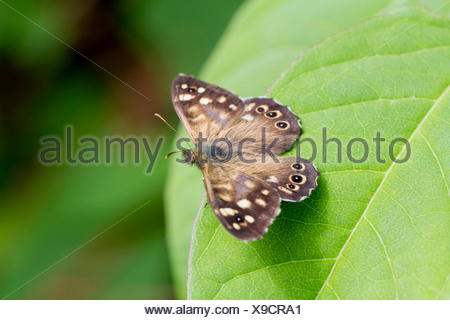 Speckled Wood butterfly (Pararge aegeria), male, on a Japanese Knotweed leaf (Fallopia japonica), South Wales, United Kingdom - Stock Photo