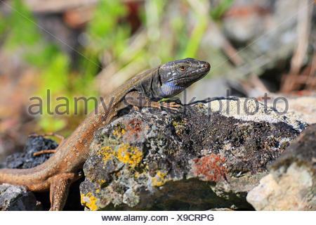 Western Canary Island Lizard (Gallotia galloti palmae), male lying on a wall, Canary Islands, La Palma - Stock Photo