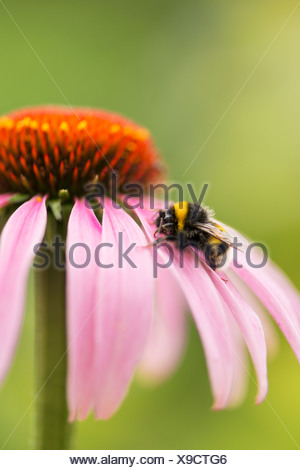 Buff-tailed bumblebee or large earth bumblebee (Bombus terrestris), on a Purple Coneflower (Echinacea purpurea), Germany, Europe - Stock Photo