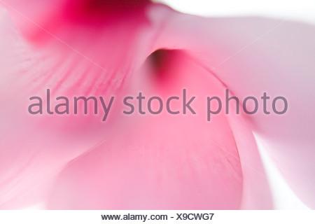Flower, cyclamen, pink (Cyclamen persicum) - Stock Photo