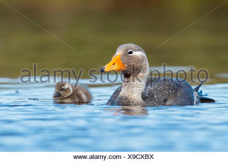 Flying Steamer Duck (Tachyeres patachonicus) swimming on a small pond in the Falkland Islands. - Stock Photo