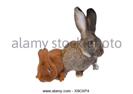 Buck rabbit - Stock Photo