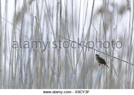 grasshopper warbler (Locustella naevia), singing in reed, Germany, Rhineland-Palatinate - Stock Photo