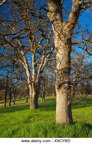 Oak woodland, Sacramento River Bend Area of Critical Environmental Concern, Paynes Creek Wildlife Area, California. - Stock Photo