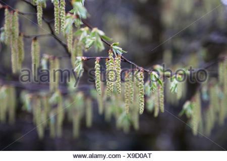 blossoms of a hornbeam - Stock Photo