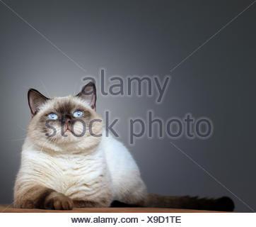 british britisch briton pussycat cat domestic cat pet skin expression british - Stock Photo