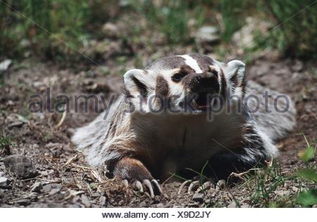 North American badger (Taxidea taxus), female, USA, Montana - Stock Photo