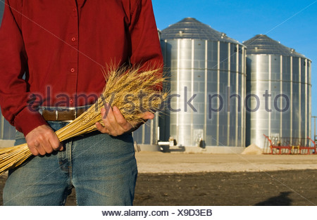 Closeup of a farmer holding stalks of mature wheat with grain storage bins in the background / near Lorette, Manitoba, Canada. - Stock Photo