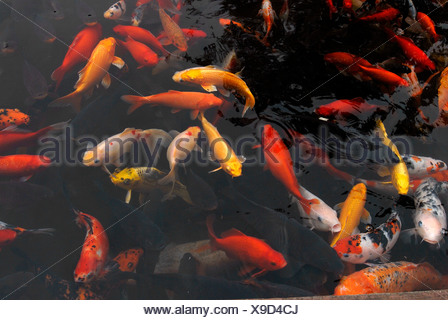 Red, yellow and patterned goldfish (Carassius auratus auratus) in the public park of Chengdu, Sichuan, China, Asia - Stock Photo