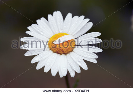 Leucanthemum vulgare, Daisy, Ox-eye daisy - Stock Photo