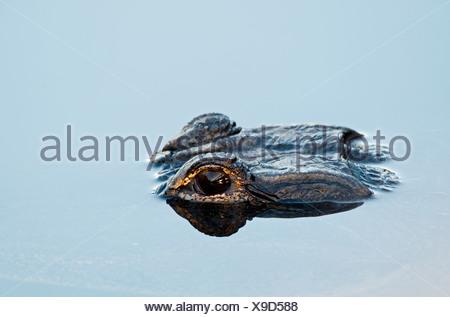 American Alligator Alligator mississippensis Anhinga Trail Florida Everglades - Stock Photo