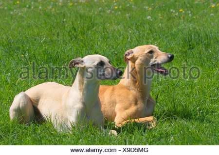 Whippet (Canis lupus f. familiaris), two Whippets lying side by side in a meadow, Germany - Stock Photo
