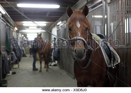 Berlin, Germany, horses are tethered in the stable lane a horse barn - Stock Photo
