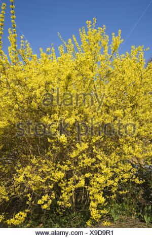 border forsythia, forsythia x intermedia - Stock Photo