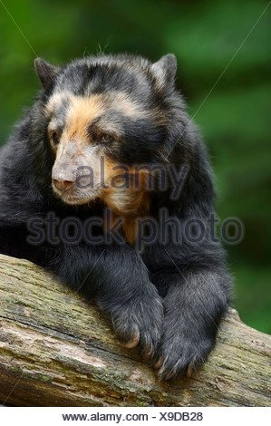 Spectacled Bear or Andean Bear (Tremarctos ornatus), native to South America, captive, Germany - Stock Photo