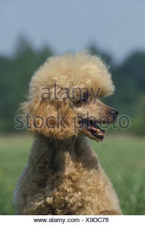Apricot Miniature Poodle, Portrait of Dog - Stock Photo