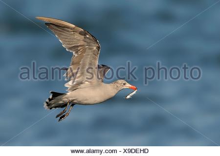 Heerman's Gull with bait fish, Westport WA - Stock Photo