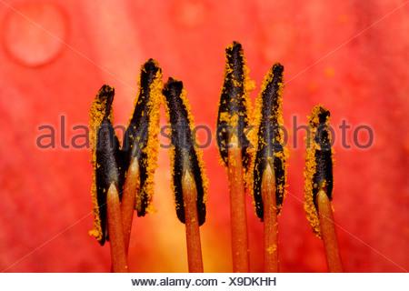 Fire Lily, Orange Lily (Lilium bulbiferum), close up of stamens. - Stock Photo