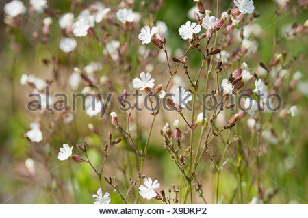 Campion, Lychnis flos-jovis. Side view of many slender stems with white flowers and pink calyxes against green background. - Stock Photo