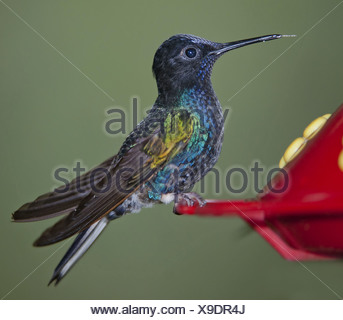 velvet-purple coronet (Boissonneaua jardini), sitting on a flower, Ecuador, Mindo - Stock Photo