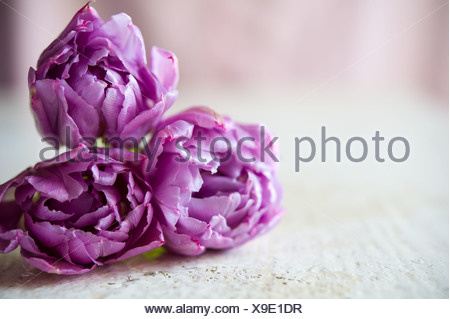Bouquet of three purple tulips lays on the white table. Blurring background with copy space, shallow DOF - Stock Photo
