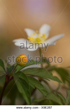 Scandinavia, Sweden, Oland, White anemone with bud in foreground, close-up - Stock Photo