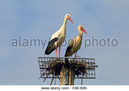 white stork (Ciconia ciconia), two white storks on nesting aid, Germany - Stock Photo