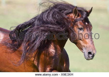 Bay Andalusian stallion running. Ojai, California, USA. - Stock Photo