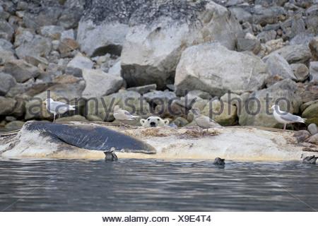 Polar Bear Ursus maritimus adult Glaucous Gulls Larus hyperboreus feeding scavenging dead Fin Whale Balaenoptera physalus - Stock Photo