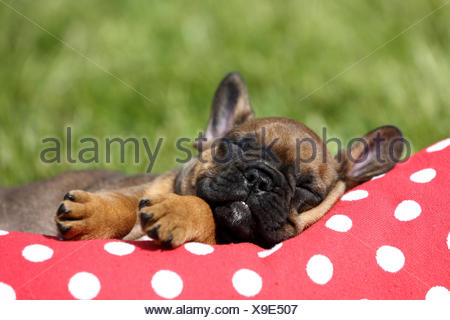 French Bulldog. Puppy (6 weeks old) sleeping on a red cushion with white polka dots. Germany - Stock Photo