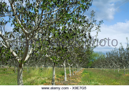 Agriculture - Damage walnut trees caused by a heavy unusual Spring freeze / near Dairyville, California, USA.