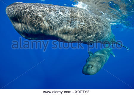 Sperm Whale, Mother and Calf, Physeter macrocephalus, Caribbean Sea, Dominica - Stock Photo