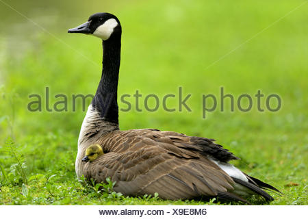 Canada goose (Branta canadensis), sitting in a meadow with two chickens in the plumage, Germany - Stock Photo
