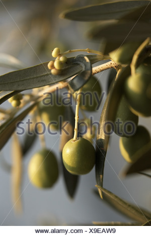Green olives on the tree - Stock Photo