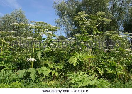 Giant Hogweed (Heracleum mantegazzianum, Heracleum giganteum), flowering, Thuringia, Germany - Stock Photo