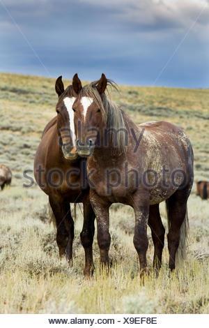 Mustangs (Equus ferus caballus), stallion and mare standing in prairie, Wyoming, USA - Stock Photo