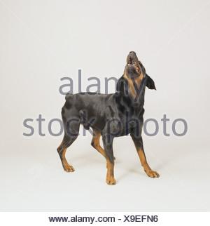 Dobermann dog - barking - cut out - Stock Photo