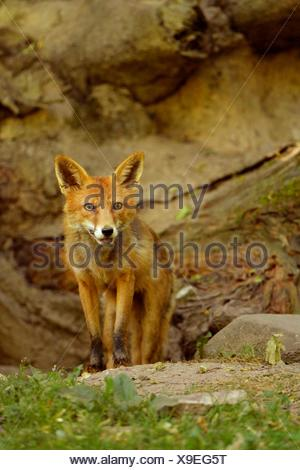 Adult Red Fox (Vulpes vulpes) standing in front of its burrow, Canton of Basel, Switzerland - Stock Photo
