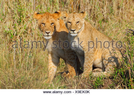 lion (Panthera leo), two cubs, Kenya, Masai Mara National Park - Stock Photo