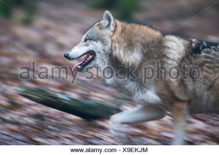 Gray wolf (Canis lupus), running, captive, Germany - Stock Photo