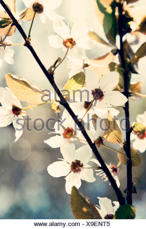 Prunus, Cherry, White flower blossom on tree branch subject, - Stock Photo