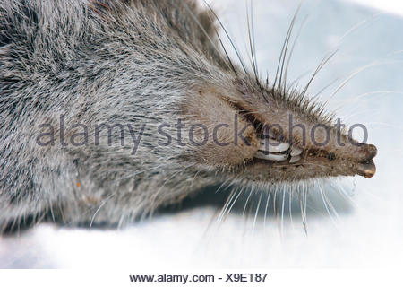 Close-Up Of Dead Shrew - Stock Photo