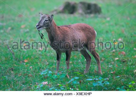 Mouflon (Ovis musimon, Ovis gmelini musimon, Ovis orientalis musimon), female, Germany - Stock Photo